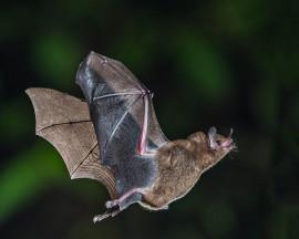 German Wind Turbines Killing Migratory Bats