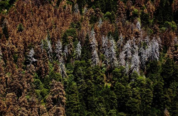 At Least 12 Million Trees Are Dead Because Of California's Drought