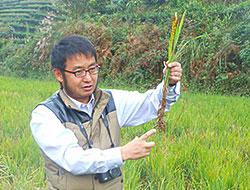 Perennial Rice: In Search of a Greener, Hardier Staple Crop