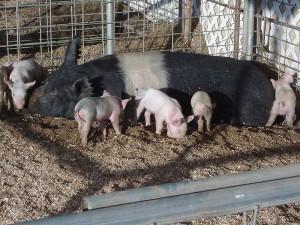 Nestle Makes New Animal Welfare…