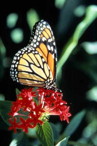 The Fight to Save Butterflies