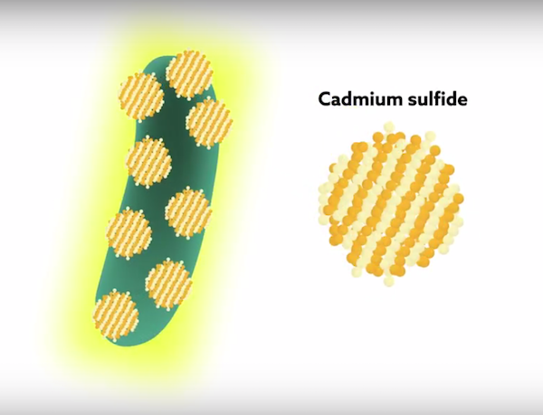 "Tiny ""Cyborg"" Bacteria Is A Solar Powered Biofuel Factory & Carbon Sequestration Unit"