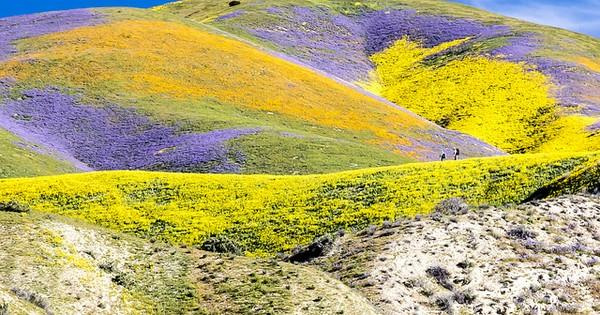 California's wildflowers are freaking out, can be seen from space