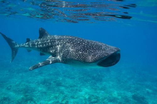 The Maldives and the whale shark: The…