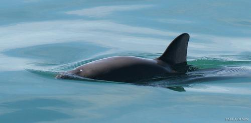 This Week in Whales: Good News/Bad News for Vaquita; Blue Whales in Danger of Ship Strikes but NASA May Be Coming to the Rescue; Well-Deserved Award for Book on Navy Sonar Fight...