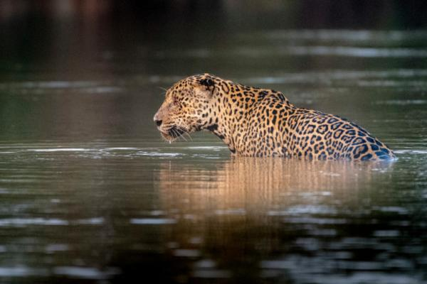 photo image Latam Eco Review: Jaguar protection plan signed by 14 Latin countries