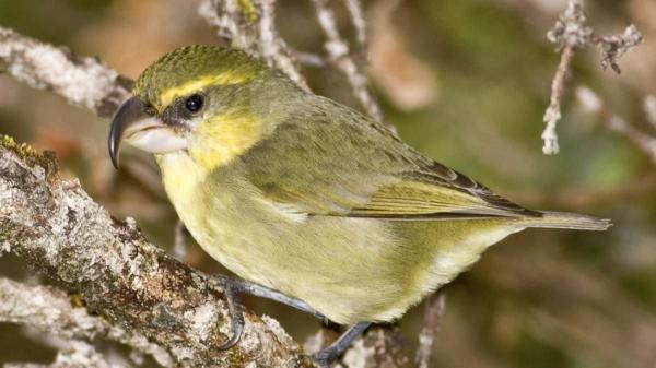 Critically Endangered Bird Believed Dead Spotted Alive in Hawaiian Islands