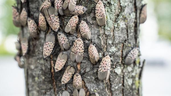 The Invasive Spotted Lanternfly Is Spreading Across the Eastern U.S. – Here's What You Need to Know