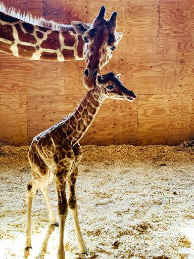 photo image It's a boy! April the Giraffe gives birth again