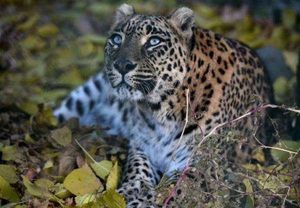photo image Runaway leopard returns to Indian park after escape